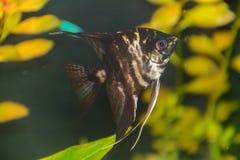 Scalaire de scalare de pterophyllum de poissons, grandeur scalaire de diable rouge photos stock