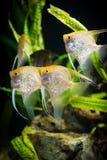 Scalaire - scalare de Pterophyllum Images stock