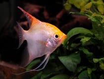 Scalar. A female scalar in an Aquarium Stock Images