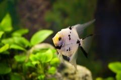 Scalar aquarium fish in the green algae. Angelfish aquarium fish in the green algae Royalty Free Stock Photo