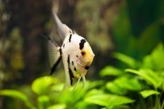 Scalar aquarium fish in the green algae. Angelfish aquarium fish in the green algae Royalty Free Stock Images