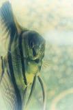 Scalar. Close up of an Angelfish Stock Photo