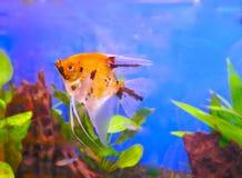 Scalar för röd jäkel, en härlig sötvattens- akvariefisk Royaltyfri Foto