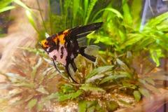 Scalar för röd jäkel, en härlig sötvattens- akvariefisk Royaltyfri Fotografi