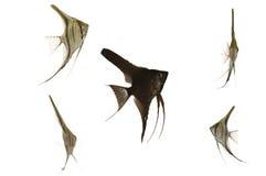 Scalar fish Royalty Free Stock Image