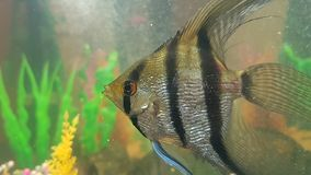 Scalare水族馆鱼 免版税库存照片