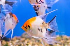 Scalare рыб аквариума Стоковое Фото