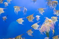 Scalare рыб аквариума Стоковые Изображения