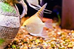 Scalare рыб аквариума Стоковые Изображения RF
