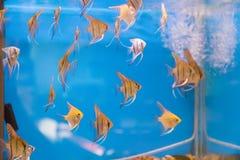 Scalare рыб аквариума Стоковые Фото