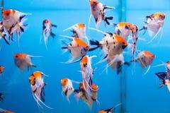 Scalare рыб аквариума Стоковое Изображение