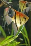 scalare 4 рыб Стоковые Фотографии RF