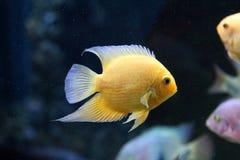 Scalare鱼 免版税库存图片