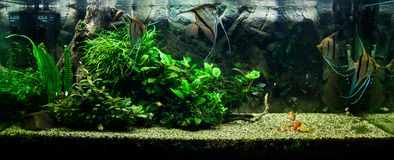 Scalare de Pterophyllum imagem de stock royalty free