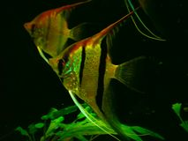 Scalare de Pterophyllum imagem de stock