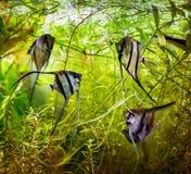 Scalare de Pterophyllum de scalaire Photographie stock libre de droits