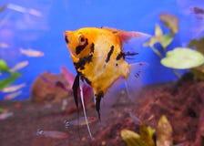 Pesce scalare immagine stock immagine di acquario corals for Pesce pulitore acqua dolce fredda