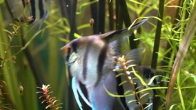 Scalare di Pterophyllum dell'angelo di mare archivi video
