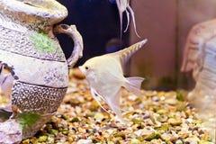 Scalare dos peixes do aquário Fotos de Stock Royalty Free