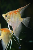 Scalare Fische 3 Lizenzfreie Stockbilder