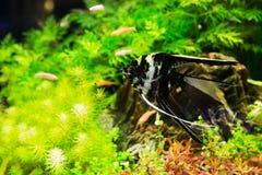 Scalare pterophyllum рыб Стоковое Изображение RF
