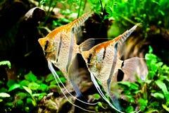Scalare Pterophyllum Стоковые Фотографии RF