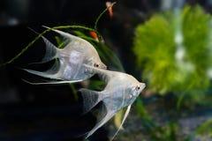 Scalare Pterophyllum Angelfish Стоковая Фотография RF