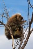 Scalare un albero Fotografia Stock Libera da Diritti