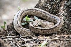 Scalaris Rhinechis, αποκαλούμενα επίσης φίδι σκαλοπατιών Στοκ φωτογραφία με δικαίωμα ελεύθερης χρήσης