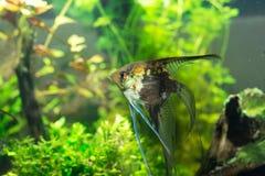 Scalars in het aquarium Stock Afbeeldingen