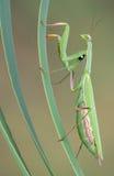 Scalata del mantis di preghiera Fotografia Stock