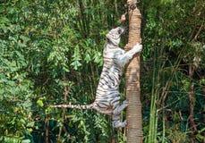 Scalata dell'albero della tigre fotografia stock libera da diritti