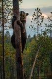 Scalata dell'orso bruno Fotografie Stock Libere da Diritti