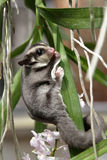 Scalata di Sugarglider Immagine Stock