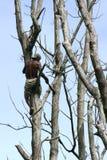 Scalatore dell'albero Fotografie Stock Libere da Diritti