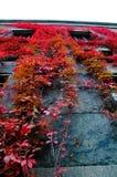 Scalatore rosso su una parete durante l'autunno. Fotografie Stock