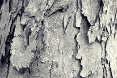 Scale bark. Brown scale bark of big tree Stock Photos