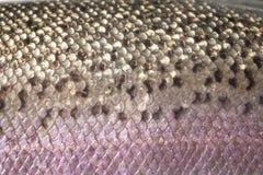 Scale della pelle della trota iridea, dettaglio Fotografia Stock