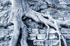 Scale della pietra di clamber delle radici dell'albero fotografie stock