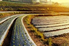 Scale di verdure della montagna della piantagione di mattina, a nord del tha Immagine Stock Libera da Diritti