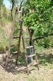 Scale e frutteto dell'albicocca Fotografia Stock Libera da Diritti
