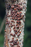 Scale insect Royalty Free Stock Photography