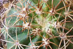 Scale Insects all over Cactus Royalty Free Stock Image