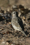 Scaled dove, Columbina squammata Royalty Free Stock Photos