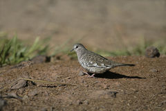 Scaled dove, Columbina squammata Royalty Free Stock Photography