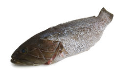 Scaled  grouper fish Royalty Free Stock Photos