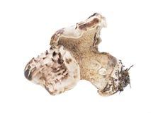 Scaled hedgehog mushroom Stock Photos