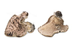 Scaled hedgehog mushroom Stock Images