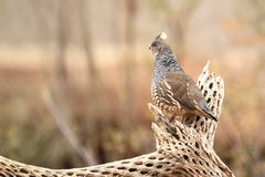 Scaled quail Royalty Free Stock Image