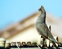 Scaled Quail Stock Photography